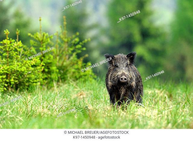 Wild boar in spring, Sus scrofa, Bavaria, Germany, Europe
