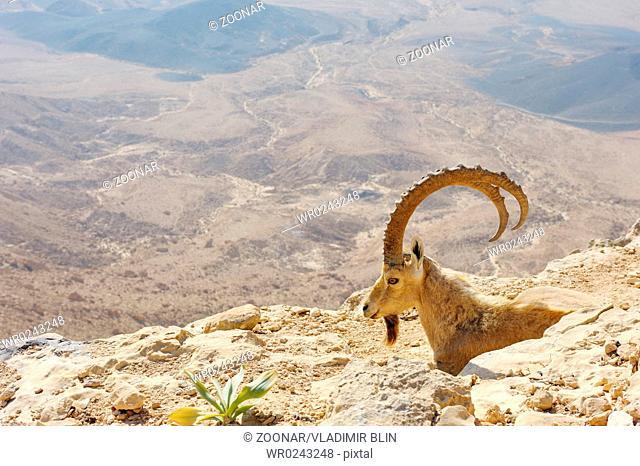mountain goats at Makhtesh Ramon