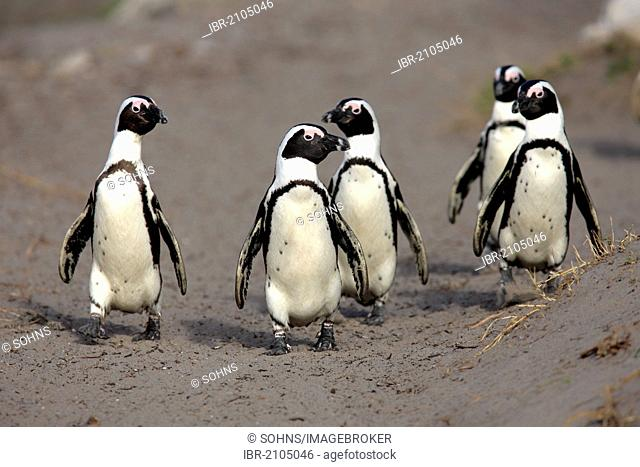 African Penguins, Black-footed Penguin or Jackass Penguin (Spheniscus demersus), group on the beach, Betty's Bay, South Africa, Africa