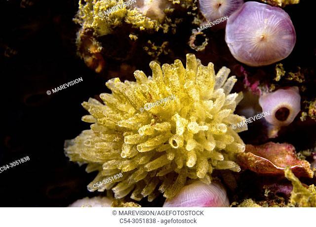 Sponge (Leucosolenia complicata). Eastern Atlantic. Galicia. Spain. Europe