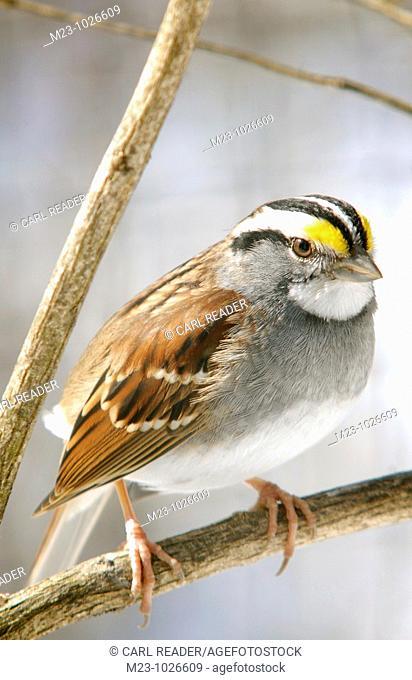 A closeup of a white-throated sparrow, zonotrichia albicollis, Pennsylvania, USA