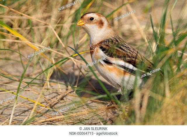 Snow Bunting (Plectrophenax nivalis) foraging on seeds, The Netherlands, Noord-Holland, Ijmuiden