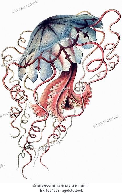 Historic illustration, tablet 8, title Discomedusae, Scyphozoa, Jellyfish, name Desmonema, 3/ Floscula Promethea, Ernst Haeckel, Artforms of Nature