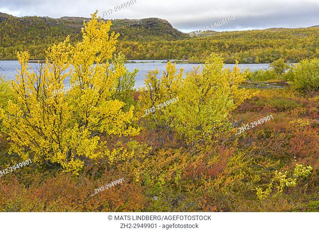 Autumn landscape with yellow birch trees and a lake and a mountain in the background, Kiruna County, Swedish Landscape, Sweden