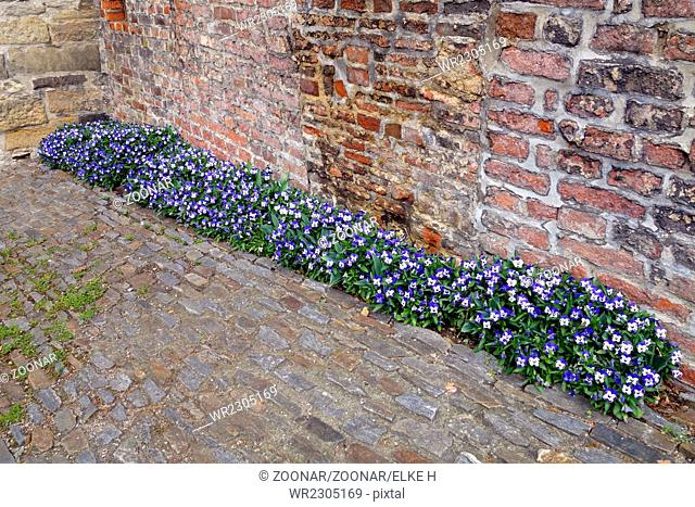 blue-white violets