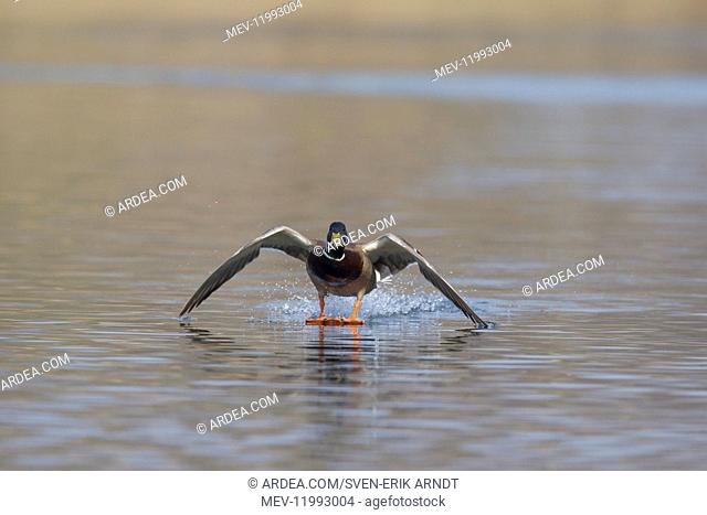Mallard - drake landing on water - Germany