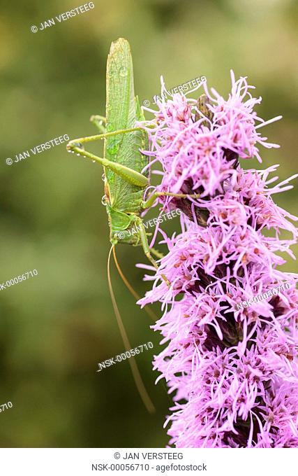Close up of one Great Green Bush-Cricket (Tettigonia viridissima) perched on a flower in the garden, the netherlands, gelderland, elst, garden