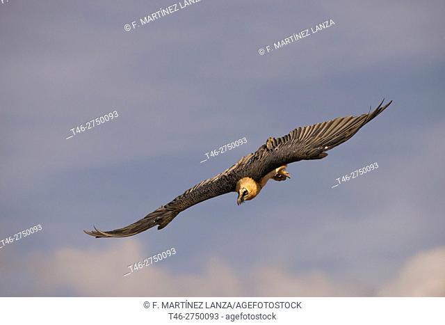 Vulture (Gypaetus barbatus bearded vulture literally) .Fotografiado in the Pyrenees Leridano in Buseo