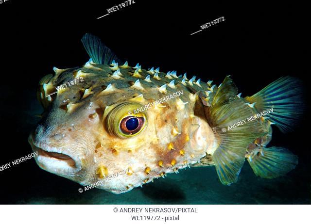 Orbicular Burrfish Cyclichtys orbicularis Red Sea, Egypt, Africa