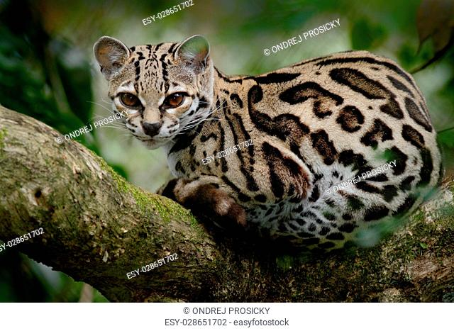 Margay, Leopardis wiedii, beautiful cat sitiing on the branch in forets