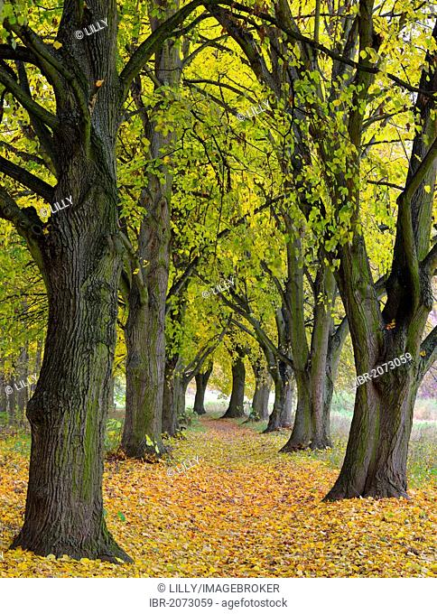 Poplar avenue with path in autumn, Black poplar (Populus nigra), Lower Franconia, Franconia, Bavaria, Germany, Europe