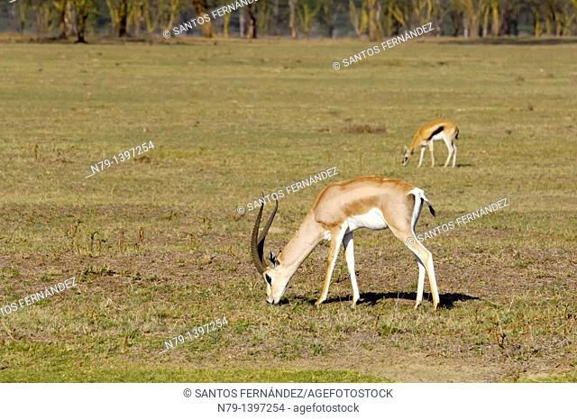 Grant's Gazelle (Gazella granti) next to a Thomson's Gazelle (Eudorcas thomsonii), Lake Nakuru, Kenya