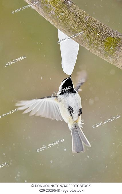 Black-capped Chickadee (Poecile atricapillus) Hovering and feeding on maple sap dripping from a maple icicle, Greater Sudbury (Lively), Ontario, Canada