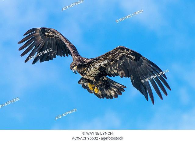 Juvenile bald eagle (Haliaeetus leucocephalus), temperate rainforest, coastal British Columbia, Canada