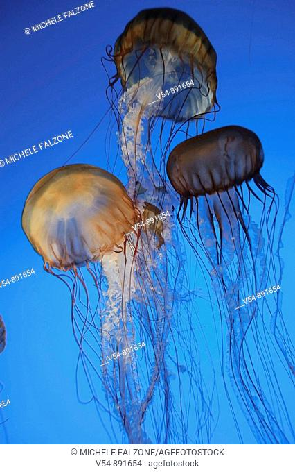 USA, California, Monterey Bay Acquarium, Pacific Sea Nettle Jellyfish Chrysaora quinquecirrha