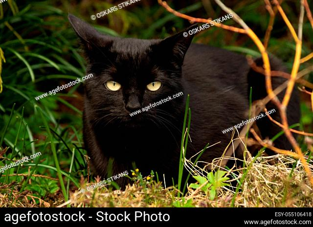 Black cat with beautiful eyes sits in a green grass, shill
