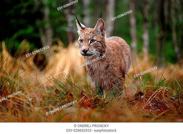 Hunting Eurasian Lynx in green forest