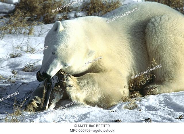 POLAR BEAR (Ursus maritumus), JUVENILE  CHEWING ON POLAR BEAR SKULL, CHURCHILL,  MANITOBA, CANADA