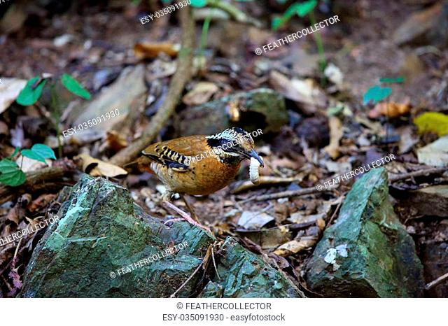 Eared pitta (Hydrornis phayrei) in Thailand