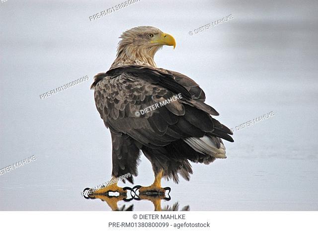 White-tailed eagel, white-tailed sea eagle, sea eagle, Erne, Ern, Haliaetus albicilla