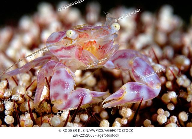 Candy Cane Crab, North Sulawesi, Lembeh Strait, Indonesia