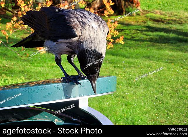 Clever Hooded Crow, Corvus cornix, perched on top of a garbage can in the park and searching for food, surviving in an urban area. Helsinki, Finland