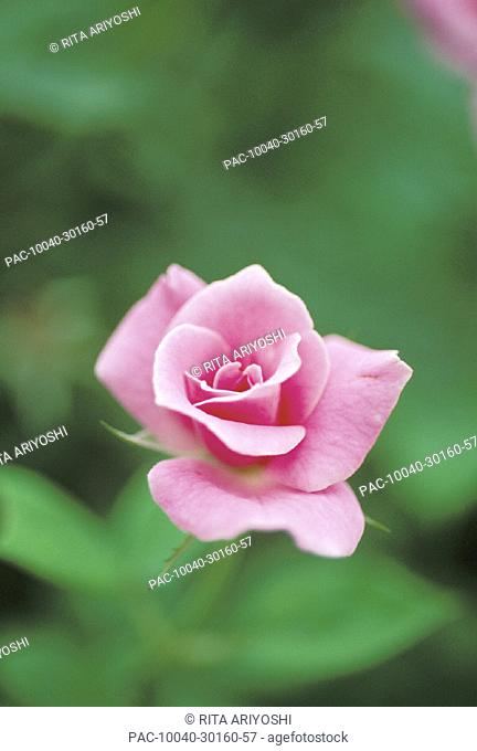 Single perfect pink rose, partway open, soft focus
