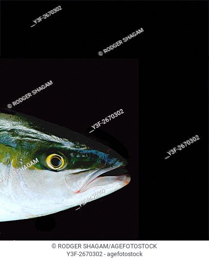 Yellowtail - a good eating game fish caught off Cape Town, South Africa. Fish on a black background
