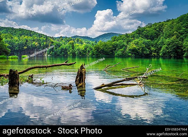 Duck and tree trunks in the lake with waterfalls in a background. Green lush forest, Plitvice Lakes National Park UNESCO World Heritage in Croatia