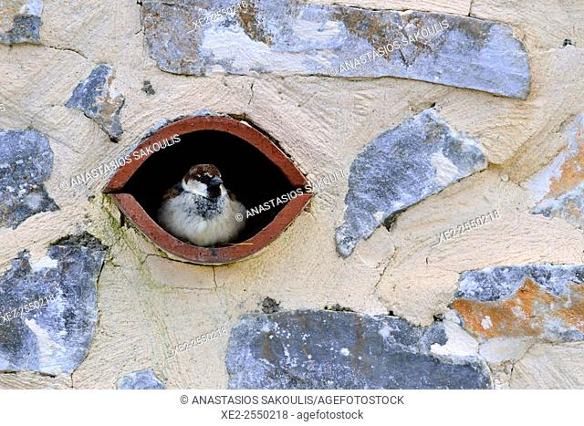 House Sparrow Passer domesticus, previously considered as Italian Sparrow Passer italiae, Crete