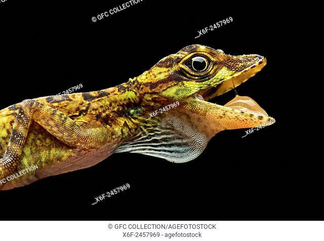 Male Equatorial Anole lizard (Anolis aequatorialis), Iguana family (Iguanidae), Pacific slopes of the Andean cloud forest, Mindo, Ecuador