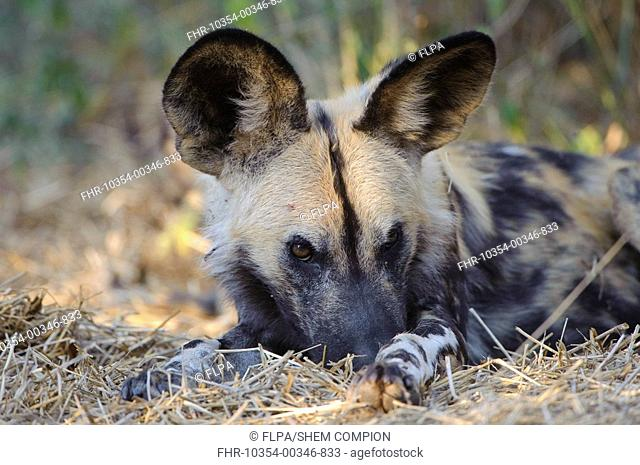 African Wild Dog Lycaon pictus adult, close-up of head, resting outside den, Mashatu Game Reserve, Tuli Block, Botswana, june