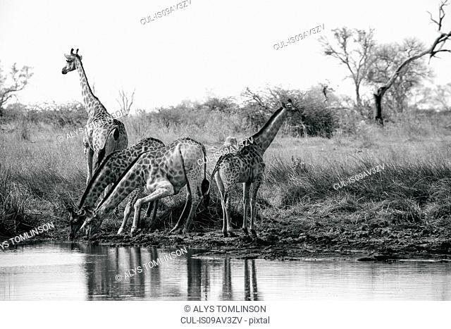 Tower of giraffes drinking at water pan, Okavango Delta, Botswana