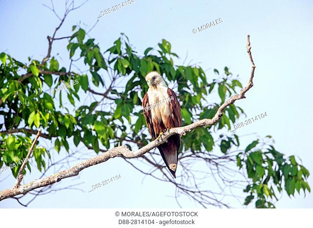 Sri Lanka, Northwest Coast of Sri Lanka, Wilpattu national patk, Brahminy kite (Haliastur indus) or Red-backed sea-eagle in Australia