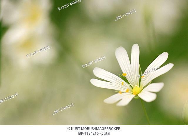 Addersmeat or Greater Stitchwort (Stellaria holostea)