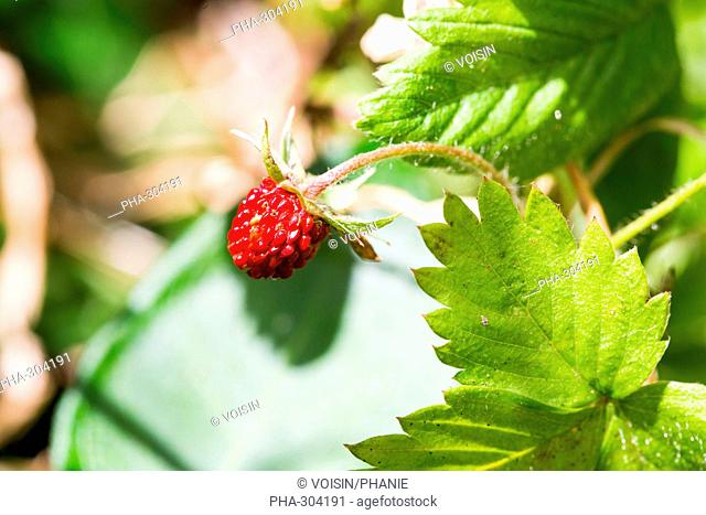 Wild strawberrie