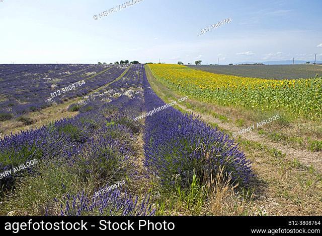 France, Alpes de Haute Provence (04), plateau de Valensole, lavender fields (Lavandula sp. ) and sunflower fields