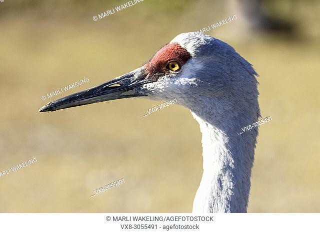 Sandhill crane, Grus canadiensis, George C. Reifel Migratory Bird Sanctuary, Delta, British Columbia, Canada