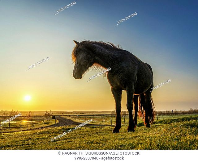 Horses grazing at sunset, Iceland