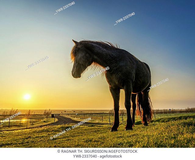 Horses grazing at sunset, Iceland