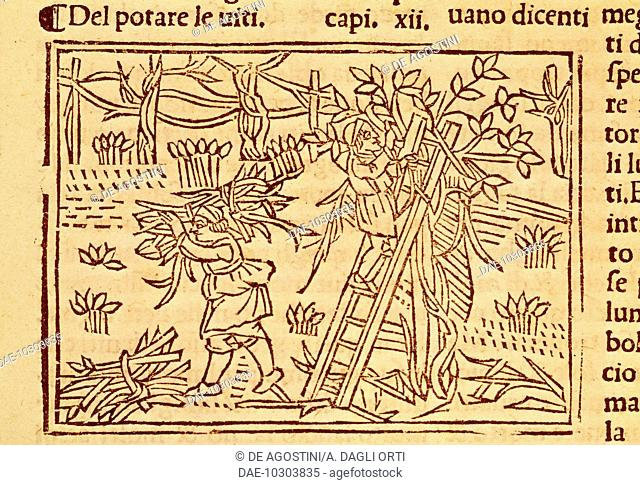Pruning fruit trees, illustration from De Agricoltura Vulgare, by Pier Crescenzio (1233-1320), edition published in Venice, 1495. Italy, 15th century