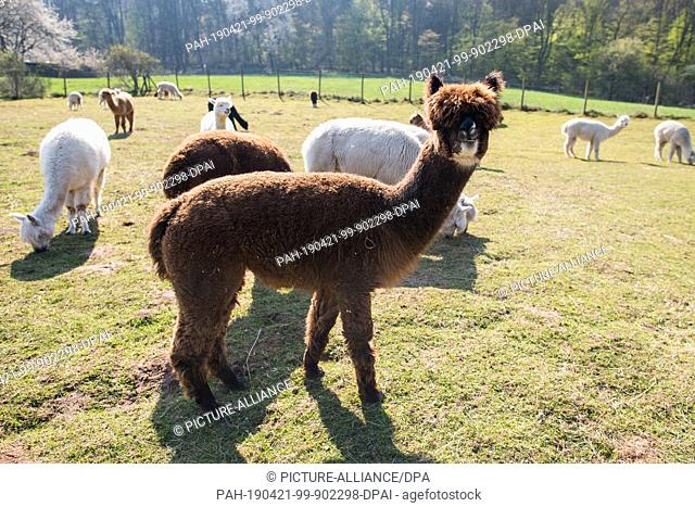 15 April 2019, Saarland, Saarbrücken: Alpacas are standing on their pasture. At the alpaca farm in Saarbrücken, the hikes with these camels from South America...