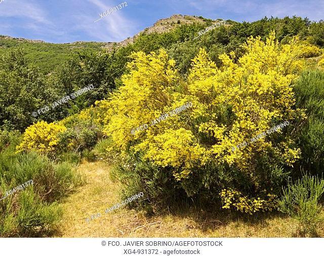 Retama (escoba, genista) con sus flores de color amarillo en el Parque Natural del Hayedo de Tejera Negra - Sierra de Ayllón - Sistema Central - Cantalojas -...