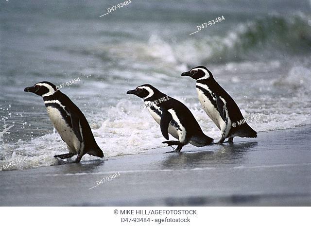 Magellanic Penguin (Spheniscus magellanicus) on beach. Falkland Islands, UK