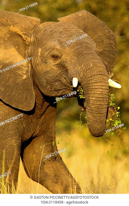 African Elephant (Loxodonta africana) - Young, Kruger National Park, South Africa