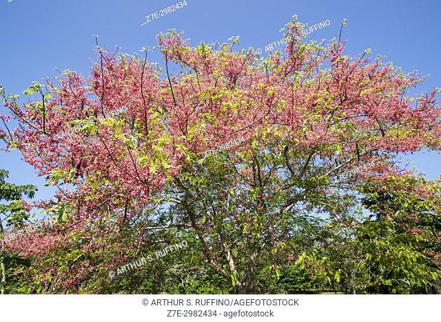 Flora, pink flowering tree, Tikal, Guatemala, Central America