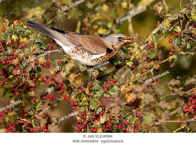 Fieldfare (Turdus pilaris) perched on a Hawthorn (Crataegus monogyna) with a berry in its beak, The Netherlands, Gelderland, polder Arkemheen