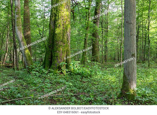 Natural mixed stands of Bialowieza Forest with old linden tree in foreground, Bialowieza Forest, Poland, Europe