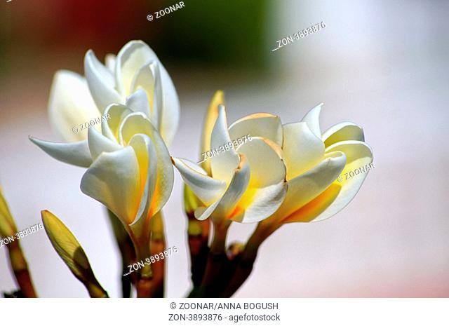 Close up of flower and buds of Plumeria