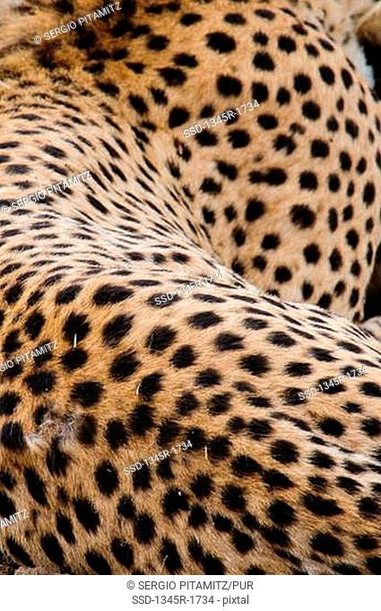 Africa, Kenya, Masai Mara, close up of Cheetah pattern Acinonyx jubatus